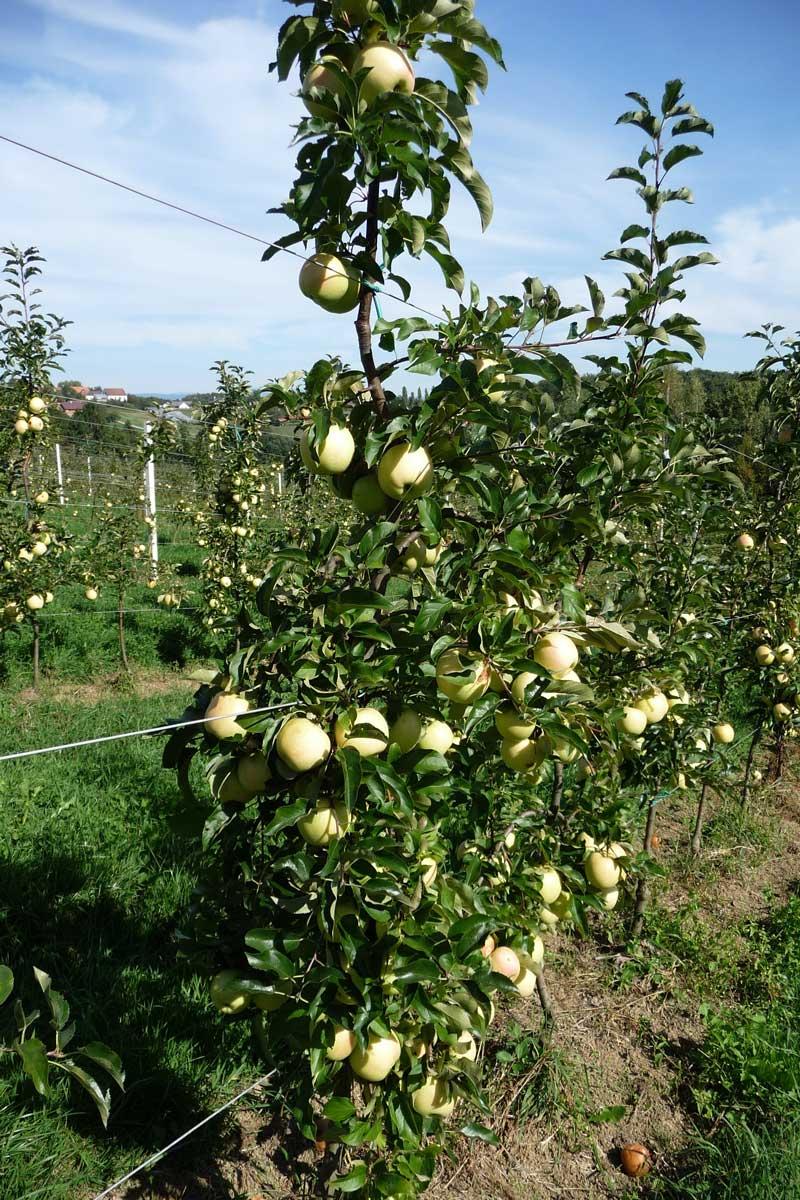 Apfelbaum-1
